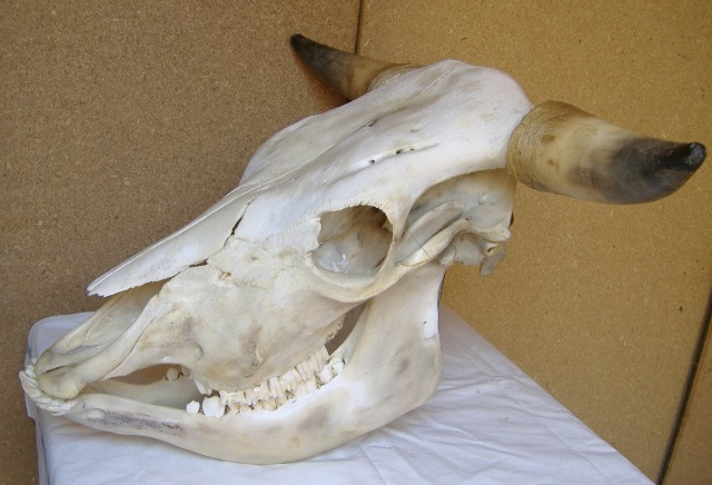 Crani di animali
