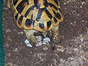 Tartaruga di terra o tartaruga di hermann testudo hermanni for Incubazione uova tartaruga